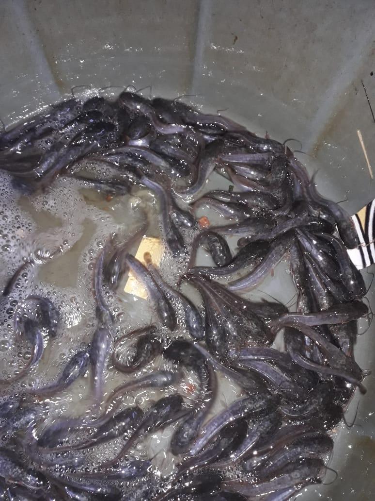 Bibit Lele Berkualitas Murah Ciledug Tangerang Awinfish